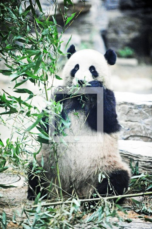 One of eighteen Panda Bears living in the Beijing Zoo eats bamboo shoots as its basic meal. Pandas generally weigh approximatelly 150 pounds and are mild natured.(AP Photo/Dick Druckman)