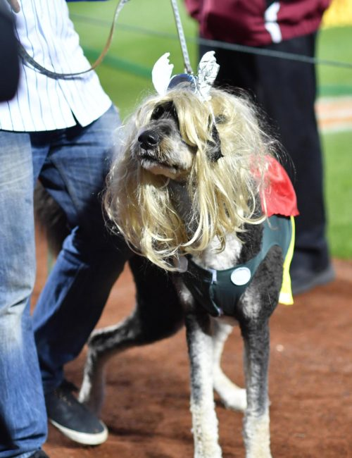 Canine version of Noah Syndergaard affectionately known as THOR